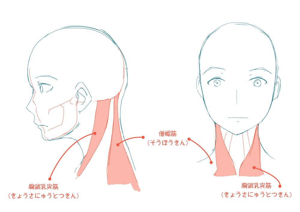 イラストレーターとしての頭部の知識:胸鎖乳突筋は耳の後ろから